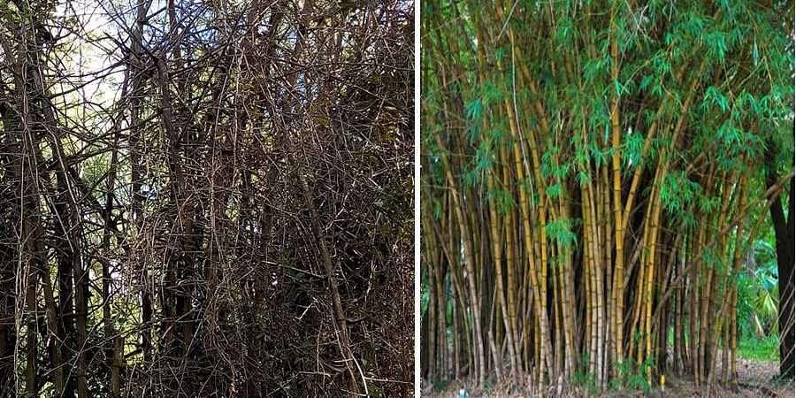 bamboo cultivation in Karnataka