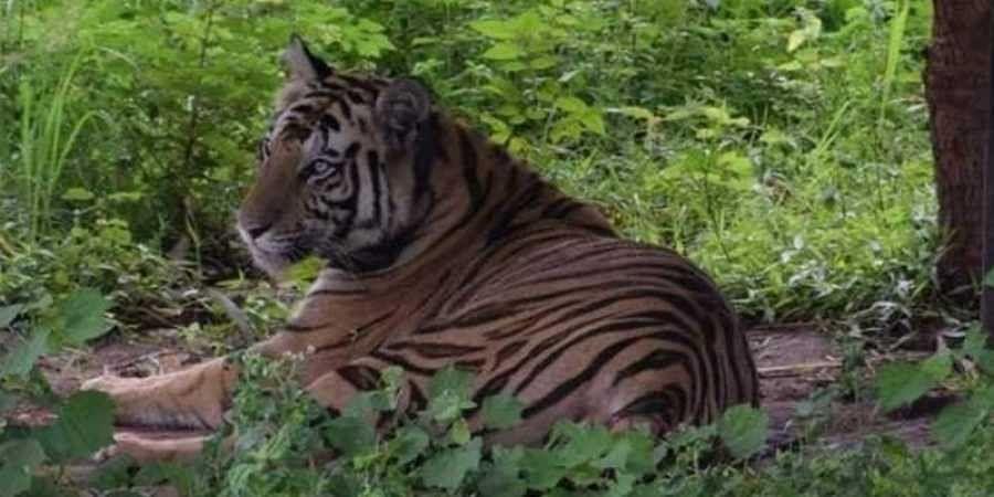 Tiger census: Despite gaining over 100 tigers since 2014, Karnataka slips to second position