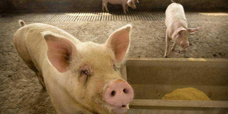 New strain of coronavirus casts shadow on piggeries now