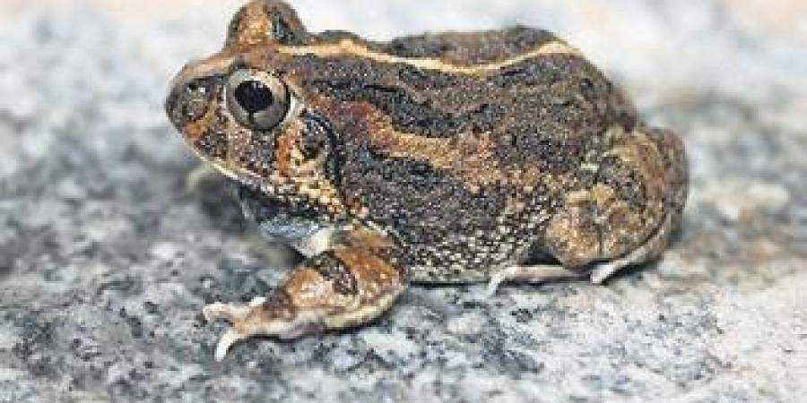 The new species of burrowing frog discovered near Bengaluru