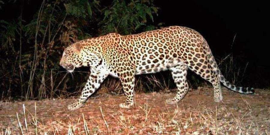 Forest department looks for 'killer' leopard