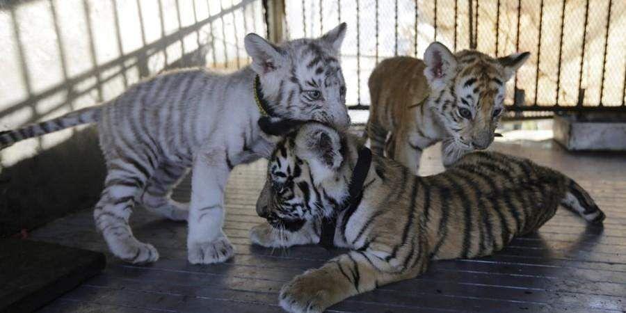 tiger_cubs_AFP