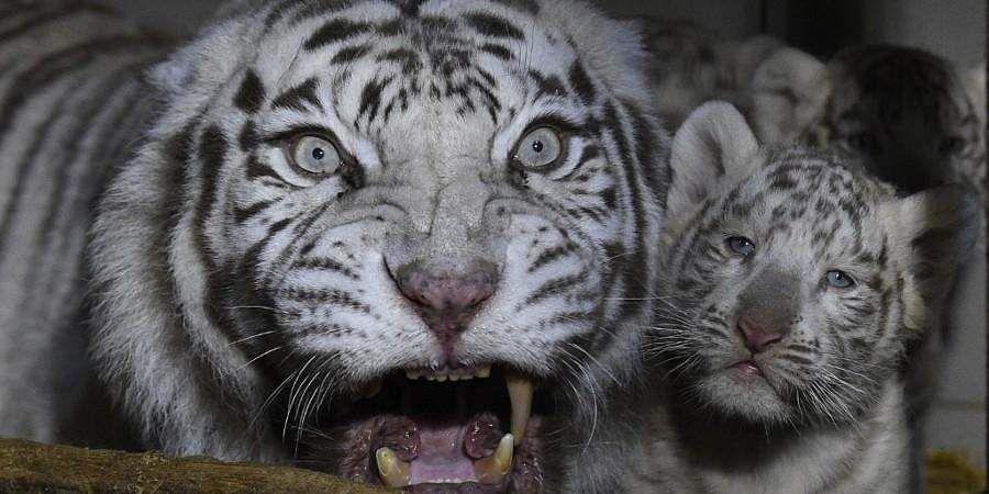 tiger_white
