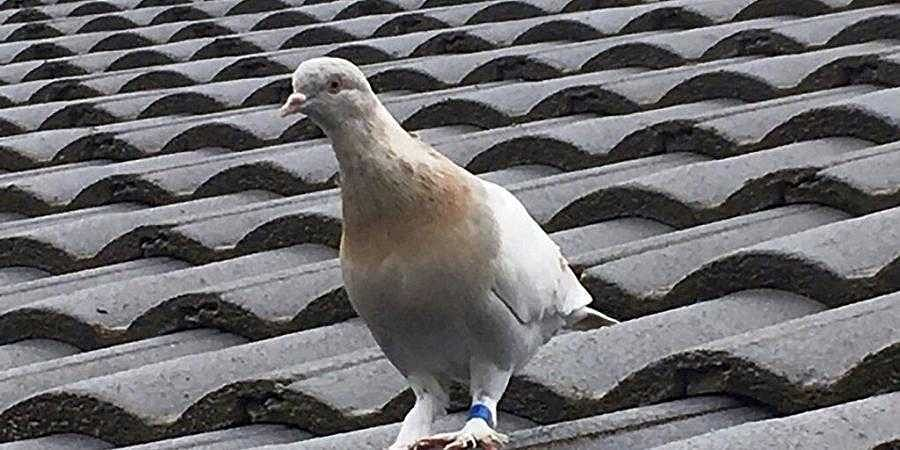 Quarantine risk? Australia to kill pigeon that undertook 13,000-kilometer cross-Pacific ride