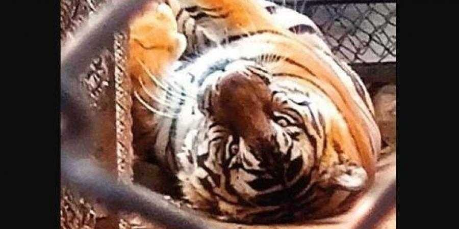 A tiger lazes around inside its enclosure in Mysuru Zoo
