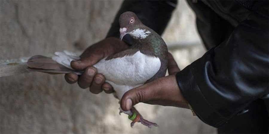 Pakistani pigeon